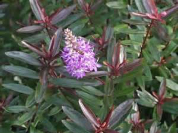 Arcadia Landscape Design | Top 5 Autumn Shrubs 5